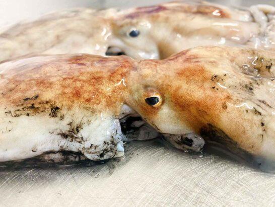 Cornish Octopus