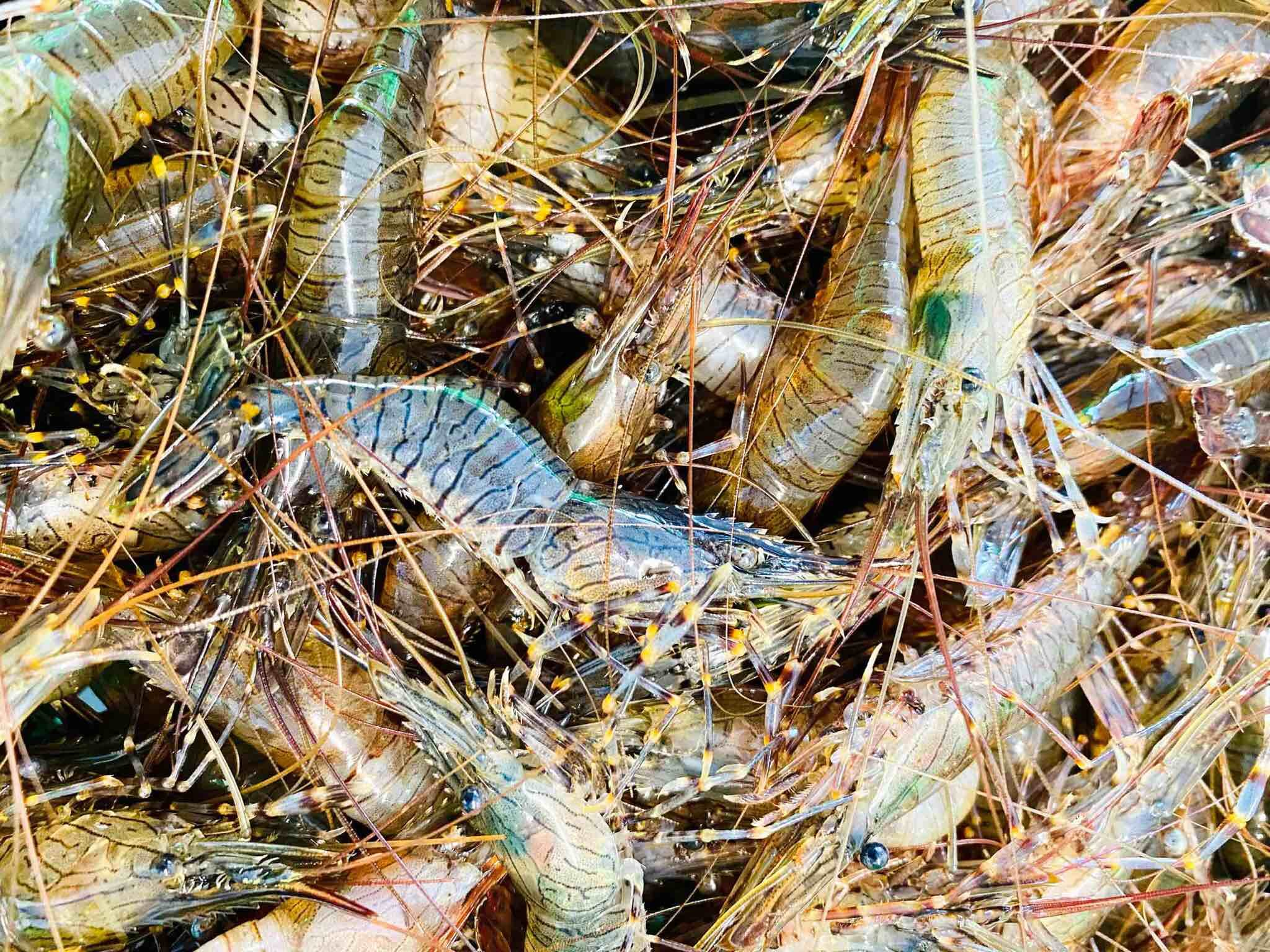 Fresh Cornish Prawns - South Coast Fisheries