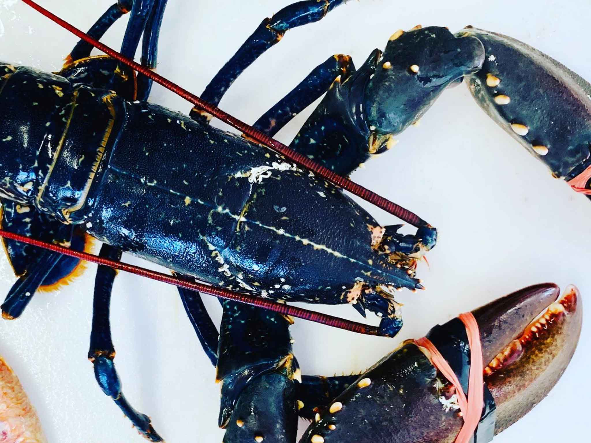 Fresh Cornish Lobster